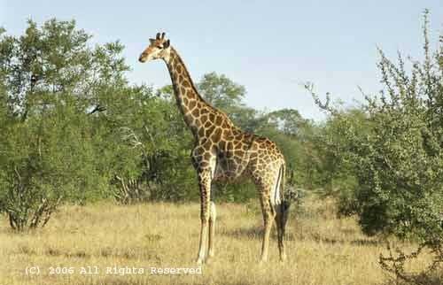 Giraffe Pose Giclee Art Print 12x16