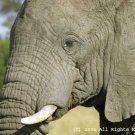 Ole Elephant Giclee Art Print 12x16