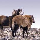 Bighorn Ritual Giclee Art Print 12x16