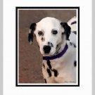 Dalmation Matted Dog Art Print 11x14