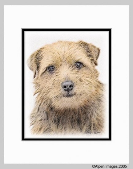 Norfolk Terrier Dog Art Print 11x14 Matted