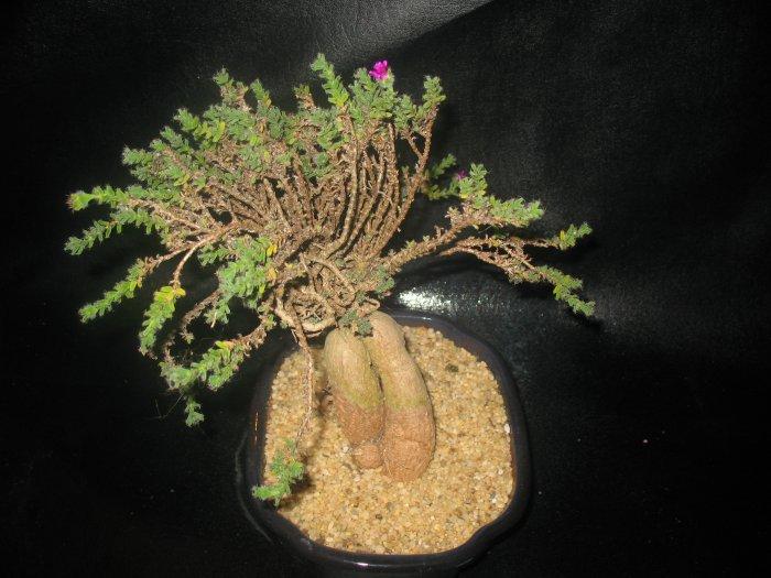 Trichodiadema bulbosum,