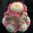 Mammillaria pilcayensis
