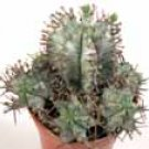 Euphorbia horrida noorsveldensis