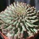 "Euphorbia flanaganii  ""Medusa Plant"""