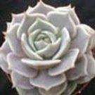 Echeveria hybrid 'Lola'