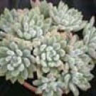 Echeveria hybrid 'Doris Taylor'