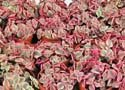 Crassula marginalis rubra variegata