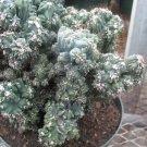 Cereus forbesii monstrose 'Ming Thing'