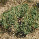 Gethyllis britteniana
