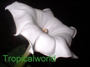 100  Devils Trumpet seeds WHITE DATURA INOXIA