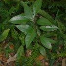 LIVE 3 Camphor Trees fast growing PLANT! BONSAI STARTER/menthol leaf