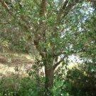 Cherry Laurel Trees 4 bonsai balcony shade tropical