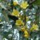 Carolina trumpet tropical yellow flower vine plant