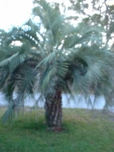 1 Pindo palm tree cold hardy fast growing tropical container jelly palm