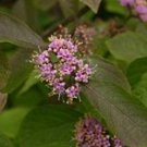 Beautyberry shrub Callicarpa bird food plant tick repellent