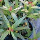 milkweed plant,Asclepias tuberosa Monarch butterfly food