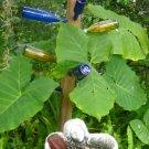 1 elephant ear tropical plant TARO,tropical Colocasia esculenta