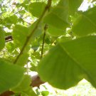Tallow tree 100 seeds florida aspen popcorn Triadica sebifera biodiesel bees fast shade
