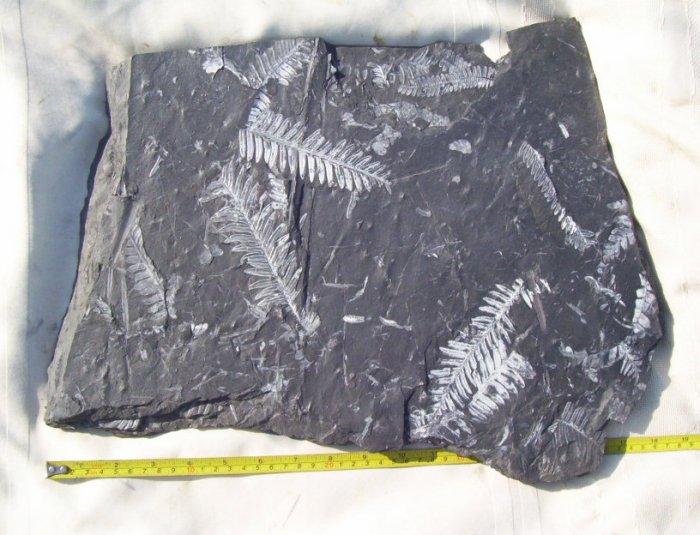 Huge PA Fern Plant Fossil: item#1111
