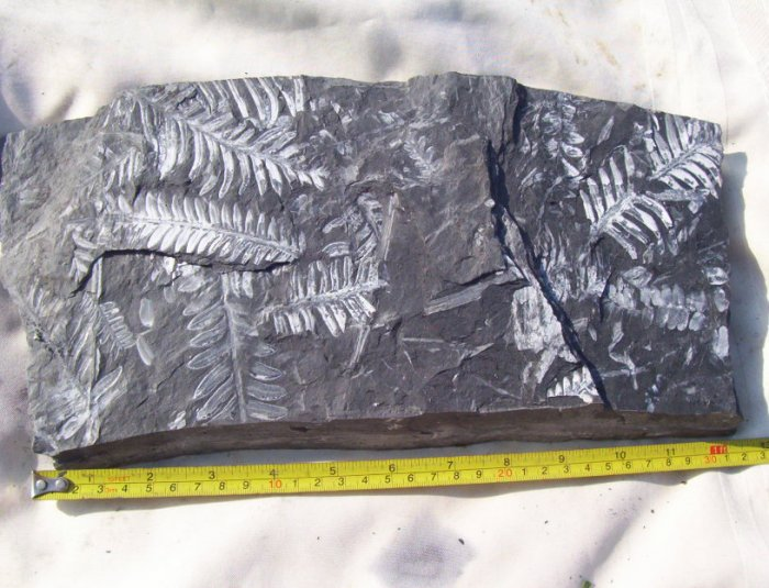 Large PA Fern Fossil Slab: item#1113