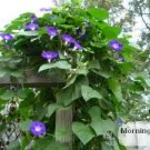 Purple Morning Glory seeds