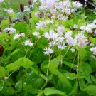 Thalictrum ichangense/  Chinese Meadowrue