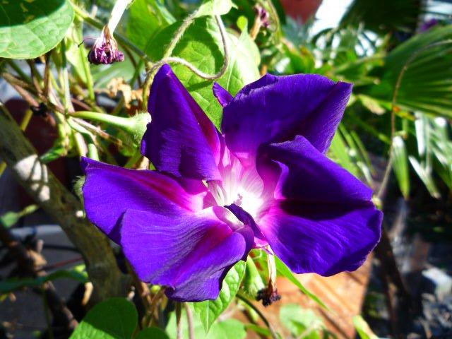 Morning glory Murasakihigezaki seeds