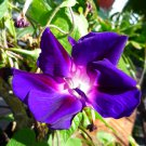 Morning glory Murasakihigezaki seeds