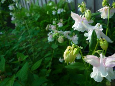 Columbine Aquilegia white and pink seeds mix
