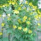 Rudbeckia lacinata cutleaf coneflower greenheaded coneflower plant