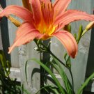 Hemerocallis fulva Daylily orange Tiger daylily