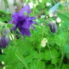 Columbine purple seeds
