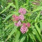Asclepias incarnata/ swamp milkweed seeds