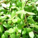 Gold Moss Stonecrop Sedum sarmentosum plants