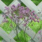 Meadow rue Thundercloud Thalictrum aquilegiifolium seeds
