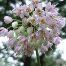 Nodding Pink Onion / Allium cernuum seeds