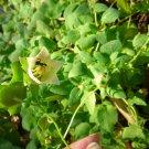 Codonopsis (Codonopsis pilosula) plant