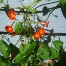 Morning Glory Scarlet Star/Orange morning glory seeds