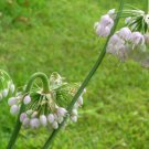 Nodding Pink Onion/Allium cernuum plants