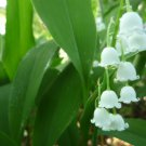 White Lily of the valley plants (3)