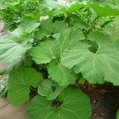 Petasites japonicus giganteus