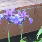 Siberian Iris purple plant