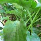 Drimiopsis maculata bulbs