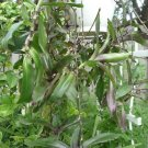 Callisia fragrans basket plant