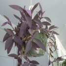 Tradescantia pallida 'Purpurea' / wandering jew/ purple queen 5 cuttings