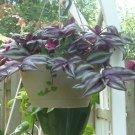 Tradescantia Zebrina wandering jew/ 4 cuttings