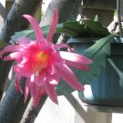 Epiphyllum orchid cactus pink Noid 2 cuttings