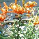 Tiger lily lily lancifolium bulbils (25)