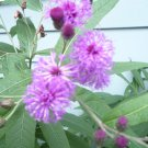 Ironweed Vernonia seeds